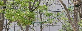 ビル風に立ち向かう樹木1
