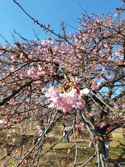 ほころびだした梅の花 アップ
